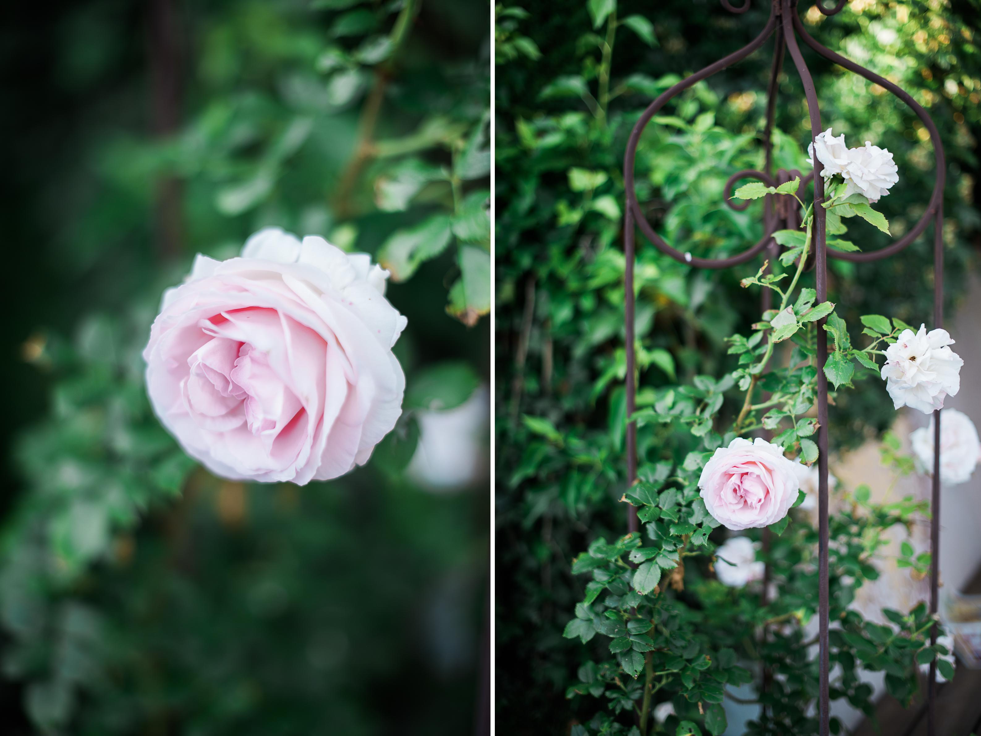 sommerspecial ab in den garten rosen nichts als rosen. Black Bedroom Furniture Sets. Home Design Ideas