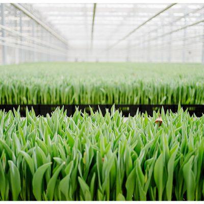 Sag mal: Woher kommen eigentlich die Tulpen im Supermarkt?